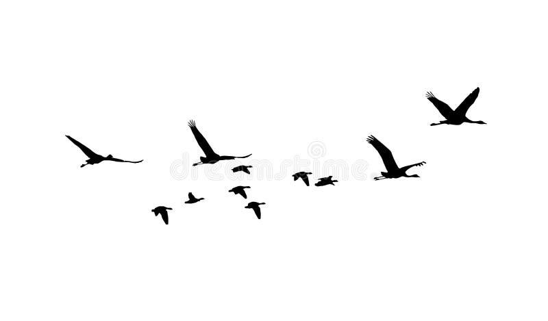 共同的起重机和在飞行中更加伟大的白朝向的鹅剪影 皇族释放例证