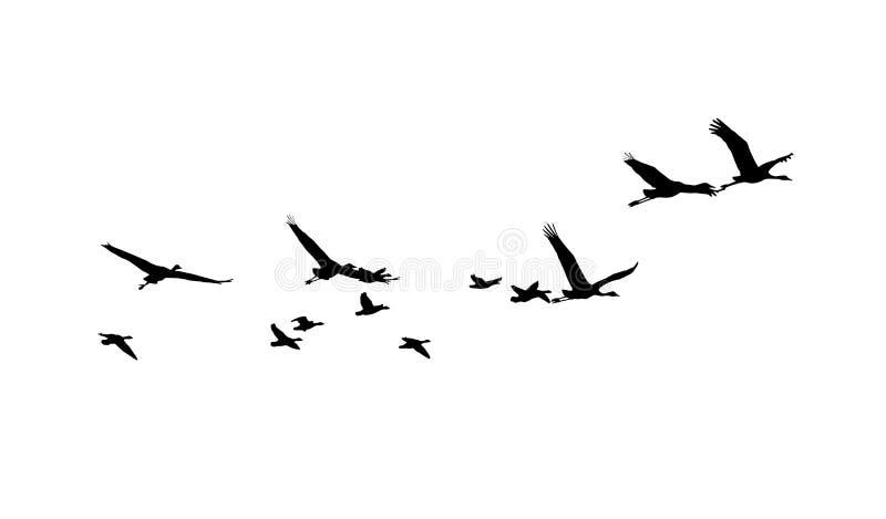 共同的起重机和在飞行中更加伟大的白朝向的鹅剪影 库存例证
