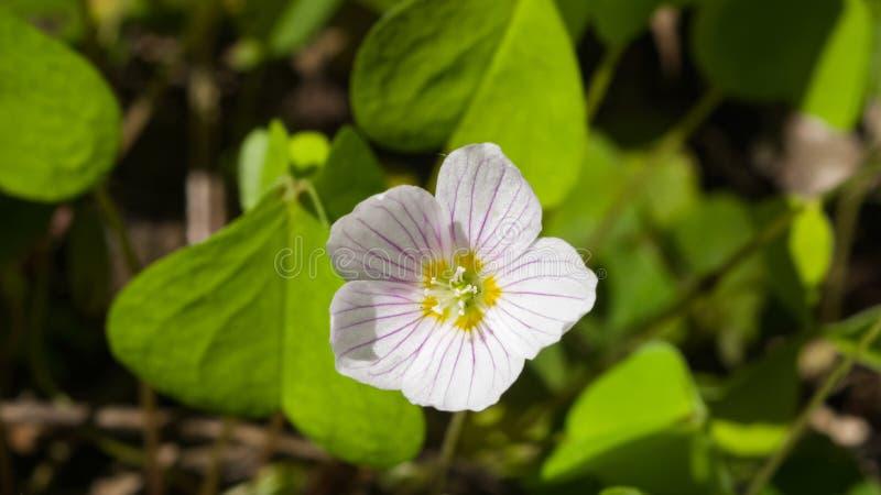 共同的酢浆草, Oxalis acetosella,与defocused的叶子的花宏指令,选择聚焦,浅DOF 库存图片