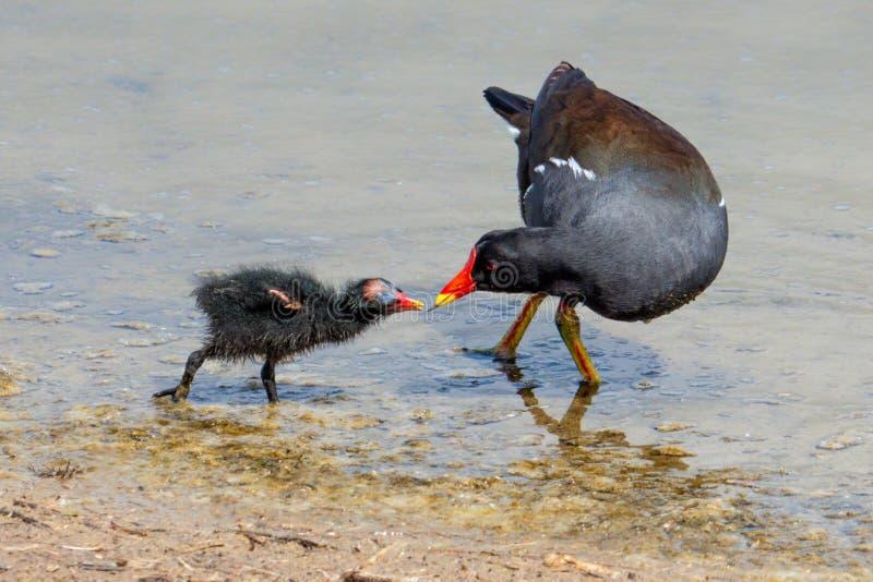 共同的雌红松鸡-喂养它的小鸡的Gallinula chloropus 免版税库存照片