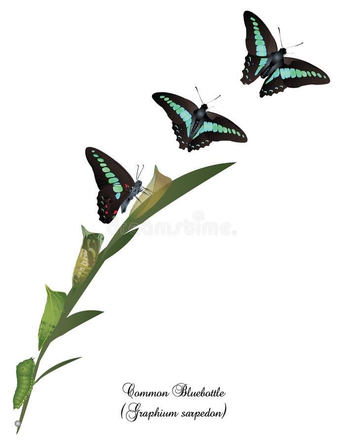 共同的青蝇蝴蝶的生命周期 向量例证