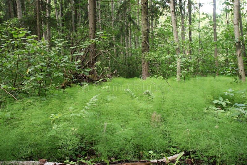 共同的马尾增长象在森林的一张地毯 免版税库存照片