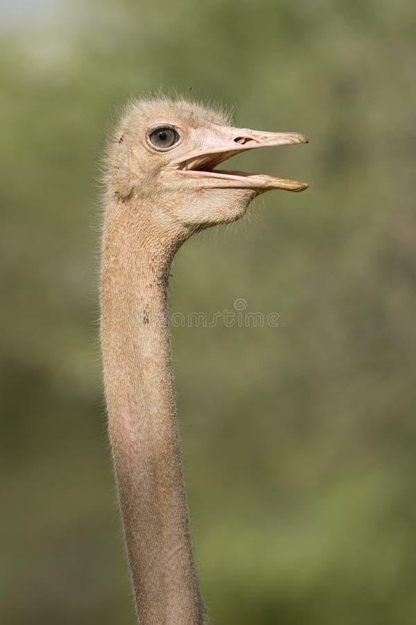 共同的驼鸟, (非洲鸵鸟类骆驼属)坦桑尼亚 免版税库存图片