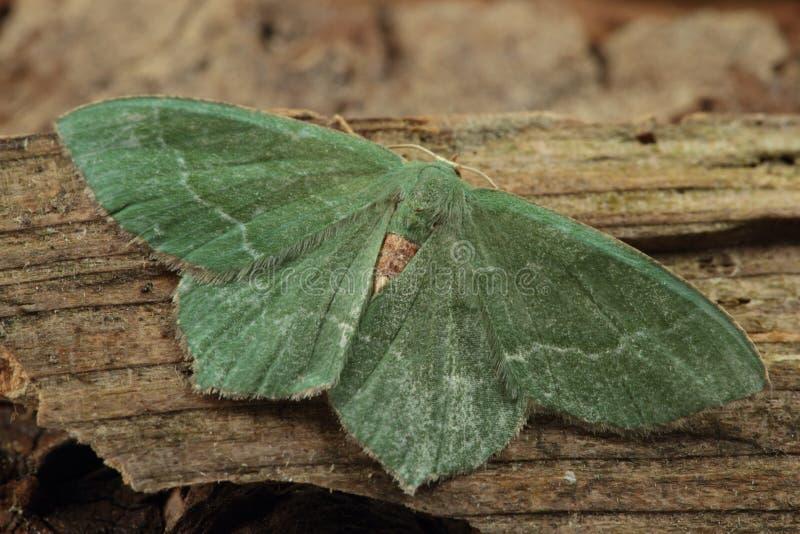 共同的鲜绿色飞蛾。 免版税库存图片