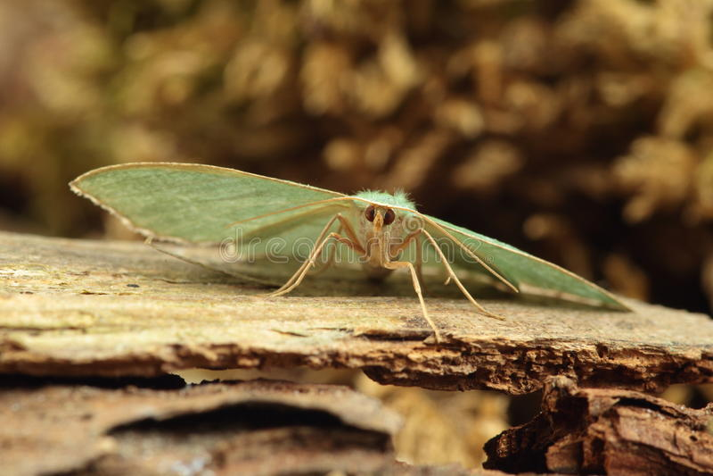 共同的鲜绿色飞蛾。 图库摄影