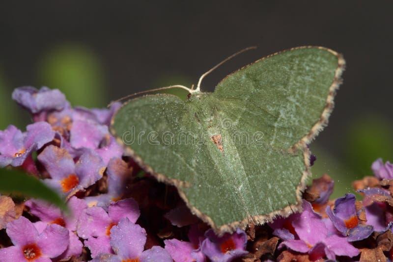 共同的鲜绿色飞蛾 免版税库存照片