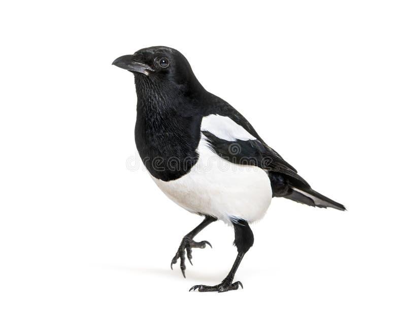 共同的鹊,12点活字12点活字,在白色背景前面 免版税库存照片