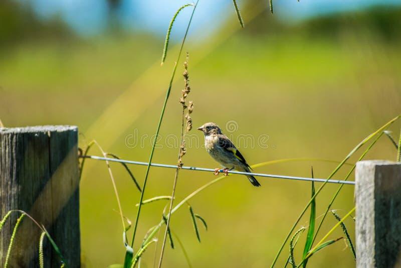 共同的麻雀鸟 皇族释放例证