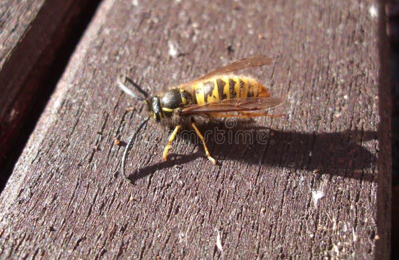 共同的黄蜂群居黄蜂侧视图寻常在木表上 免版税库存图片