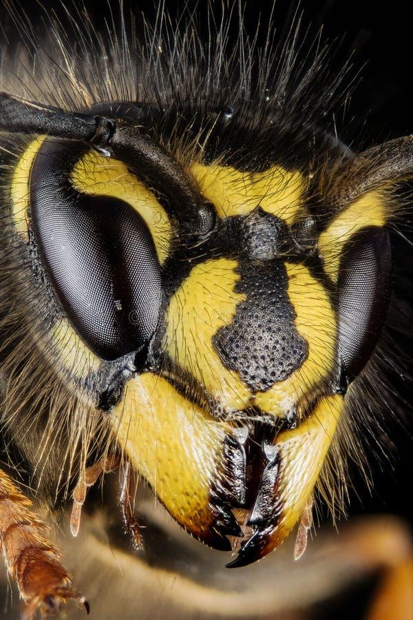 共同的黄蜂,黄蜂,寻常的群居黄蜂 免版税图库摄影