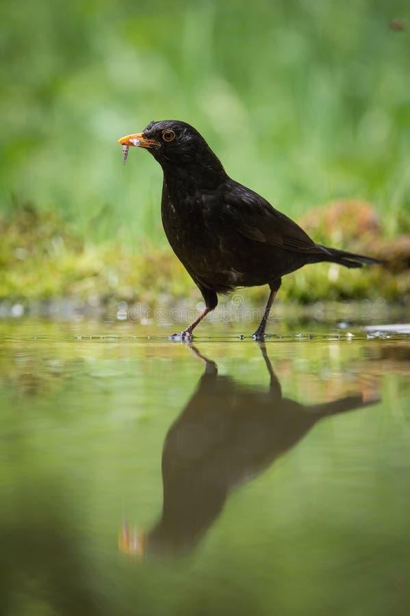 共同的黑鹂钓鱼喂养他的小鸡,画眉类merula,黑鹂有在他的额嘴的两条鱼 好的镜象反射 库存图片