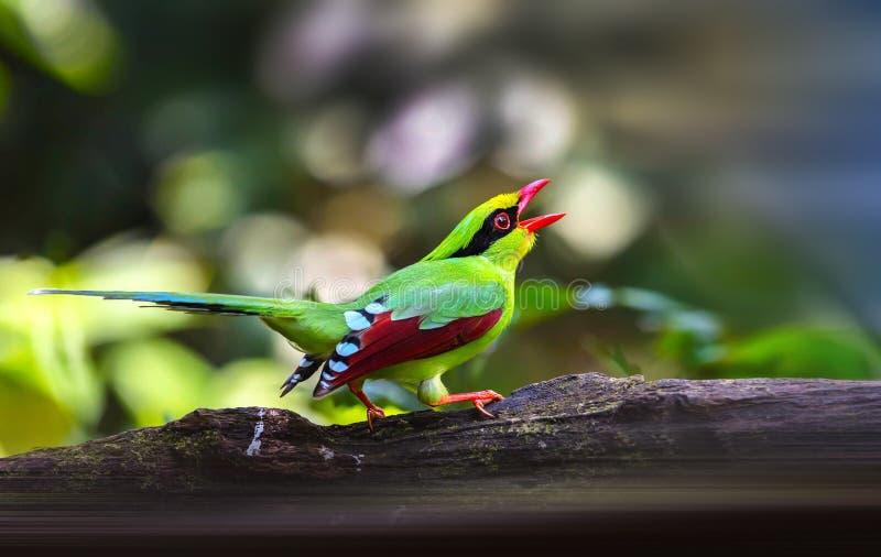 共同的绿色鹊 库存图片