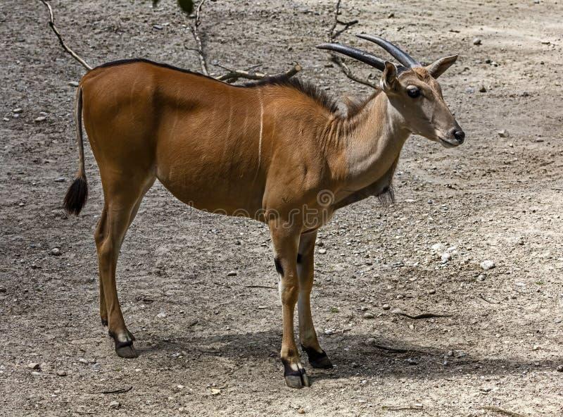 共同的eland女性1 库存照片