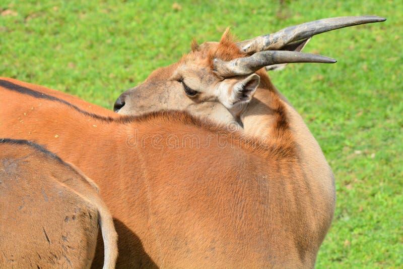 共同的eland,亦称南部的eland 库存图片