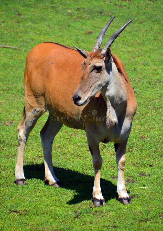 共同的eland, 库存照片
