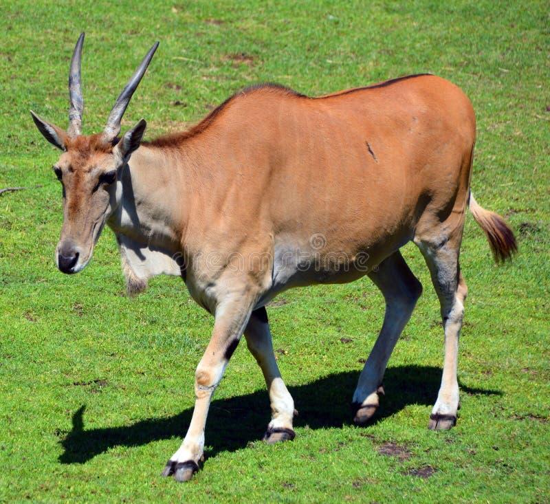 共同的eland, 免版税库存图片