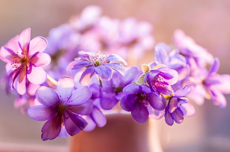共同的Hepatica 山毛榉森林hepatica nobilis需要的波兰春天 第一花春天 开花在4月的蓝色花 库存图片