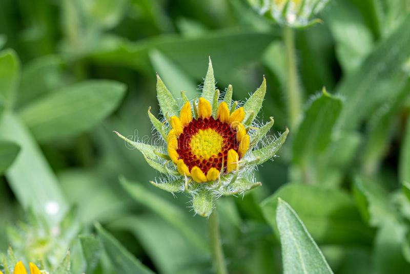 共同的houseleek或雷植物,Sempervivum tectorum 库存照片