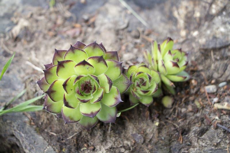 共同的houseleek植物 免版税库存图片