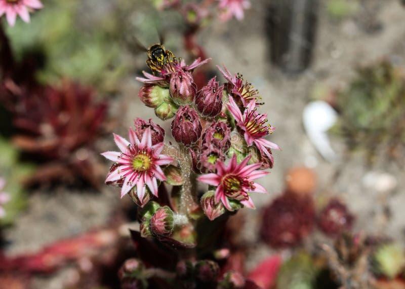 共同的Houseleek (Sempervivum tectorum)花、亦称母鸡和小鸡,开花在春天期间 库存照片