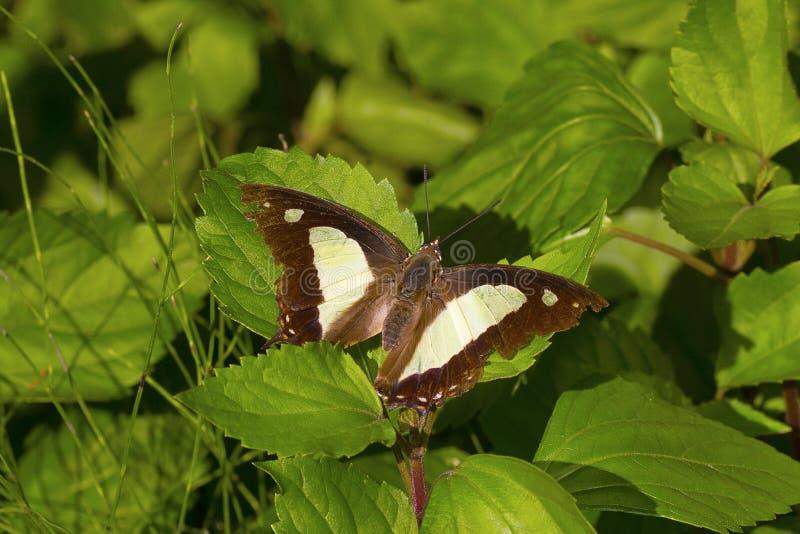 共同的Nawab蝴蝶, Charaxes athamas athamas, Satakha 免版税库存图片