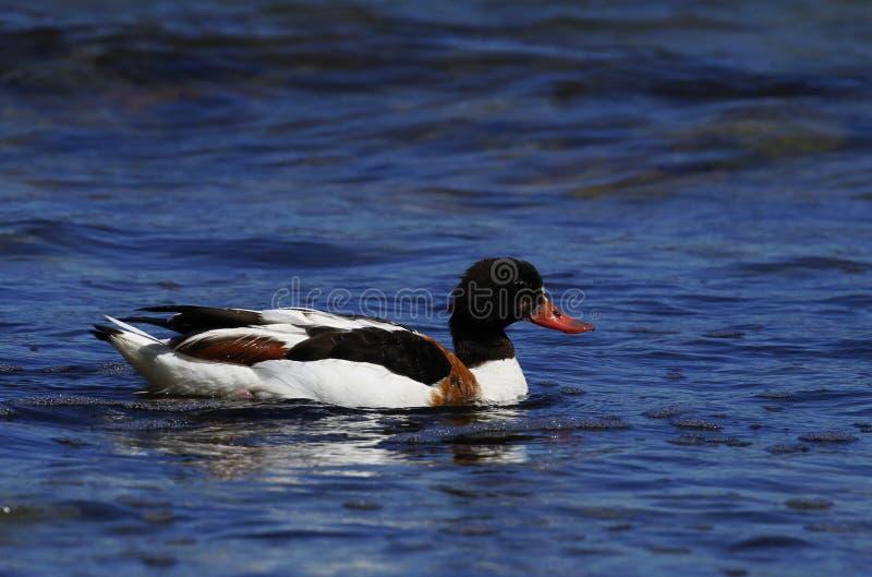 共同的shelduck,雄麻鸭类雄麻鸭类,游泳在波罗的海 免版税库存图片