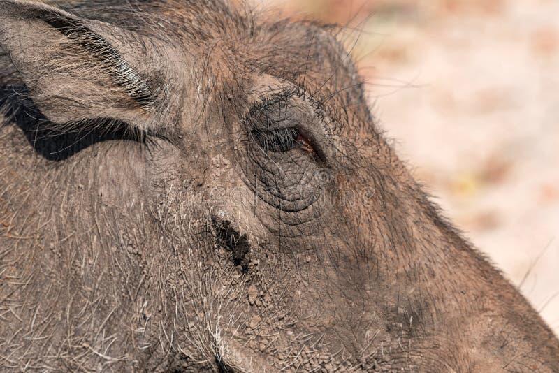 共同的Warthog,动物特写镜头在chobe国立公园,博茨瓦纳自然栖所  库存照片
