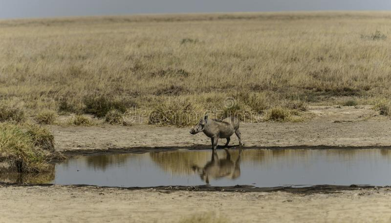 共同的warthog,看左 图库摄影