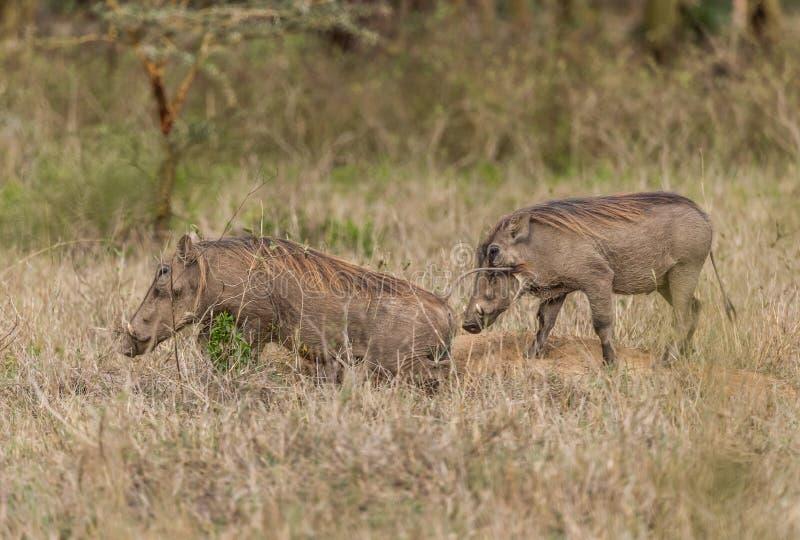 共同的Warthog -非洲野猪属africanus 免版税库存照片
