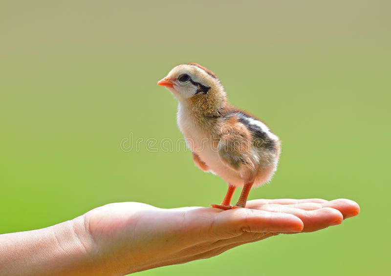 关心对一只小鸡的手举行 免版税库存图片