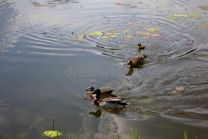 关心的母亲鸭子驾驶远离她的鸭子的一对鸭子夫妇 库存图片