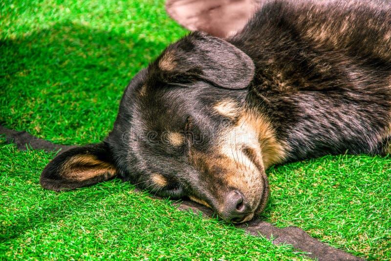 关闭一个困狗头 睡觉在绿草gr的狗 免版税图库摄影