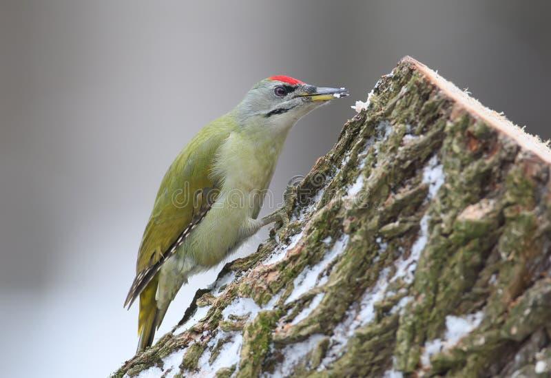 关闭一只公白发啄木鸟的照片 库存照片