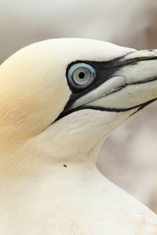 关闭一只北gannet鸟 免版税库存图片