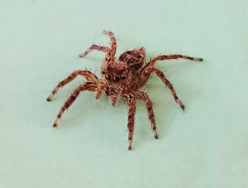 关闭一只小布朗蜘蛛! 免版税图库摄影