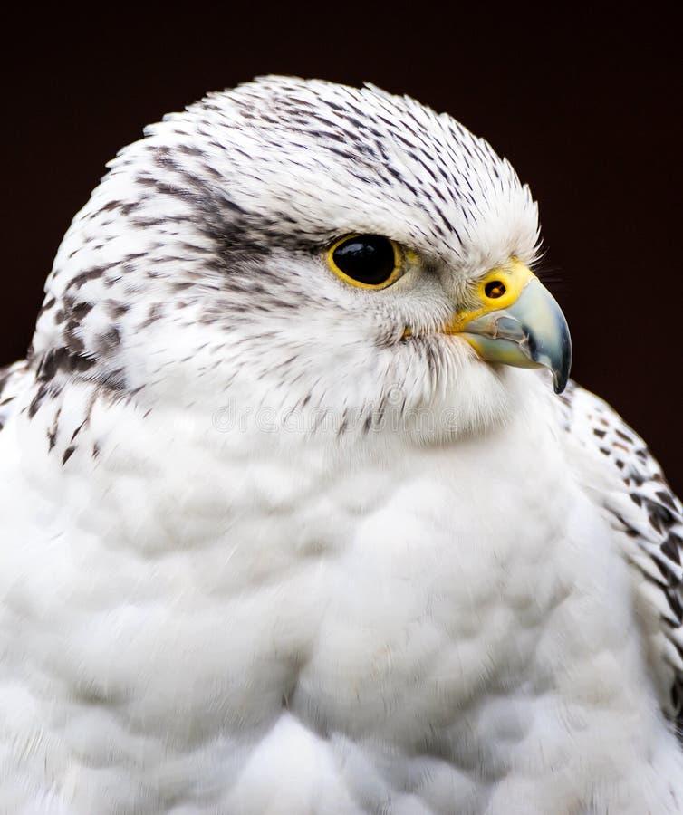 杂种猎鹰 库存图片