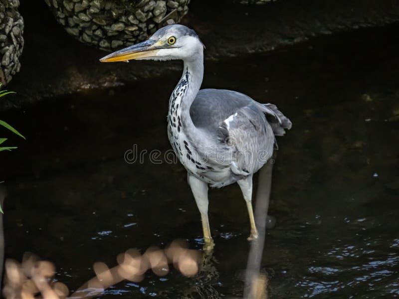 关闭一只灰色苍鹭在河 库存图片