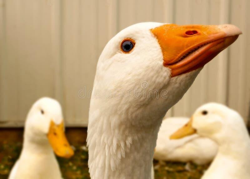 关闭一只白色埃姆登鹅的夹子与其他鹅的在笔 免版税库存照片