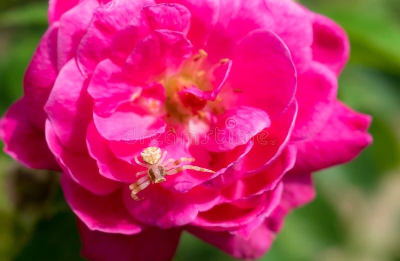 关闭一只白色蜘蛛坐一朵玫瑰色花,绿色叶子 免版税图库摄影