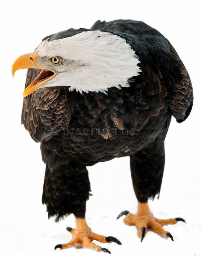 关闭一只白头鹰的画象与开放额嘴的。 库存图片