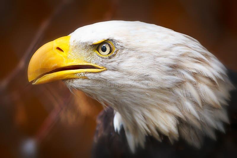 关闭一只美丽的白头鹰 库存照片