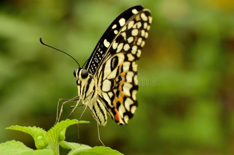 关闭一只美丽的黄色和黑蝴蝶 免版税库存图片