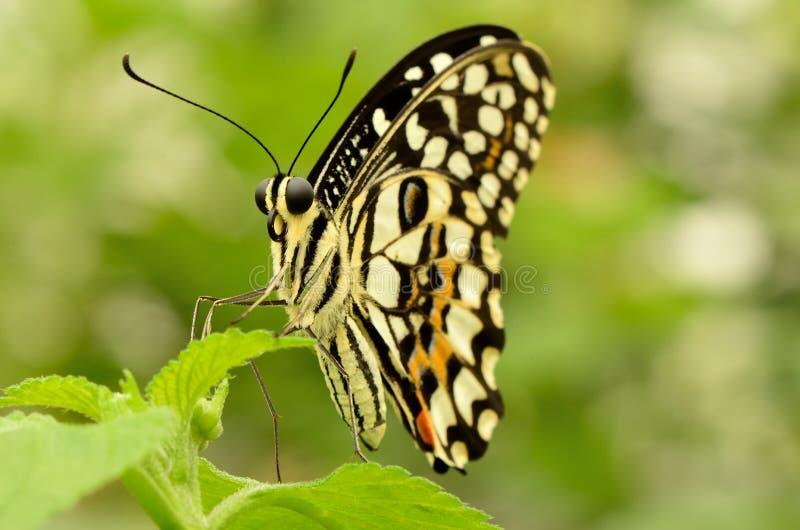 关闭一只美丽的黄色和黑蝴蝶 免版税图库摄影