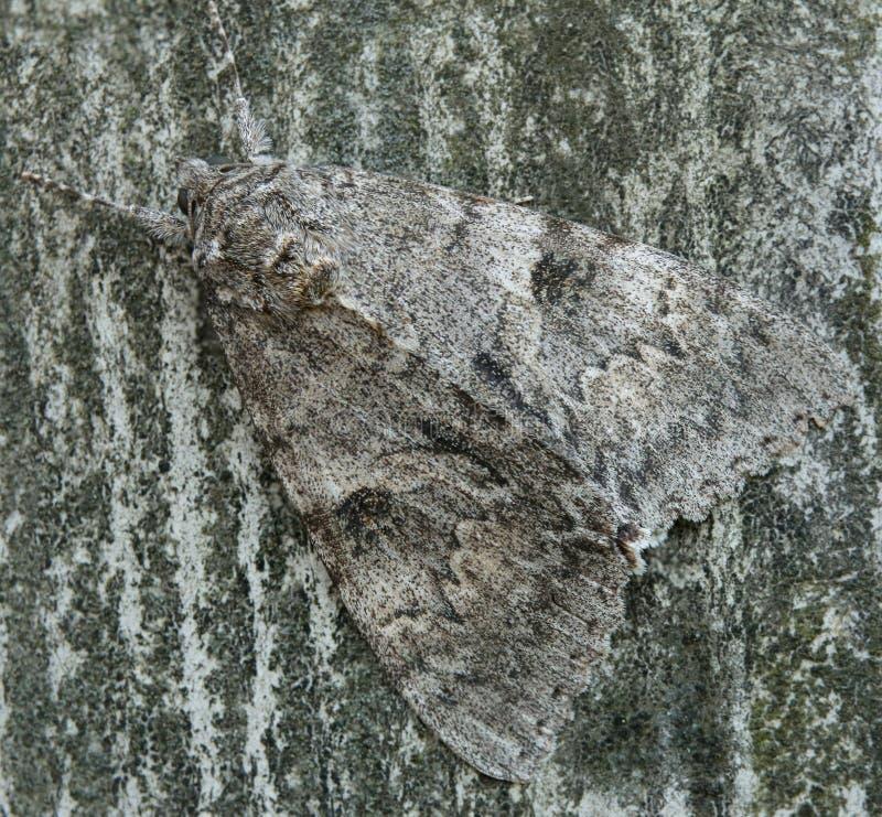 关闭一只underwing的飞蛾(类Catocala) 图库摄影