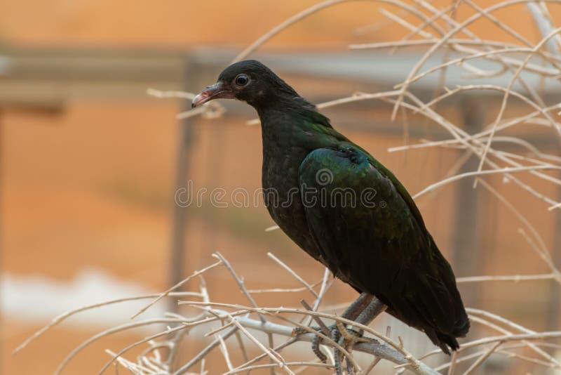 关闭一年轻nicobar鸽子鸠Caloenas nicobarica在树枝栖息,在环境附近镇静地看 库存图片