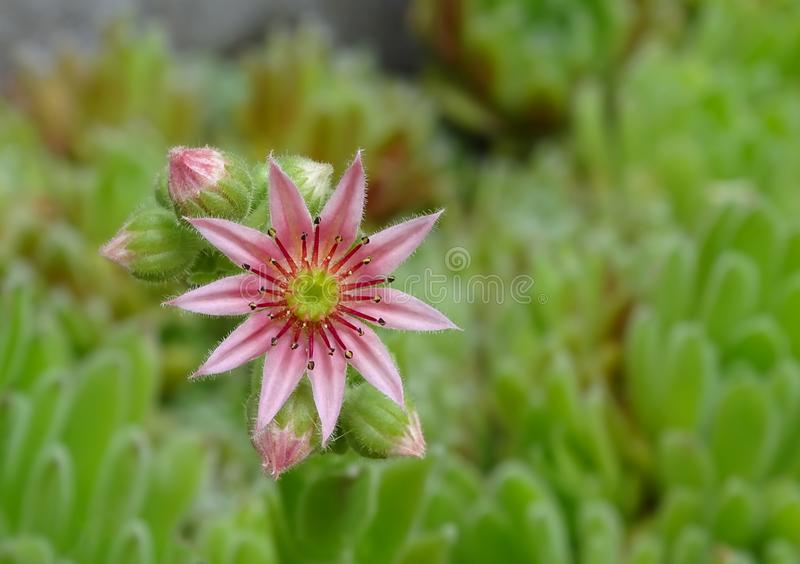 关闭一开花的共同的houseleek的一朵桃红色花 免版税库存图片