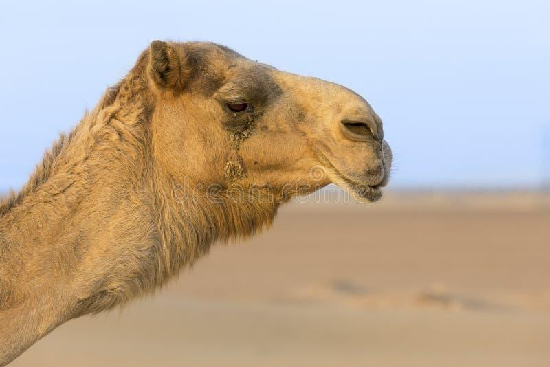 关闭一张骆驼面孔的画象在沙漠 免版税图库摄影