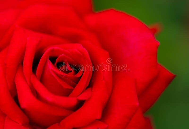 关闭一朵红色玫瑰色花 图库摄影