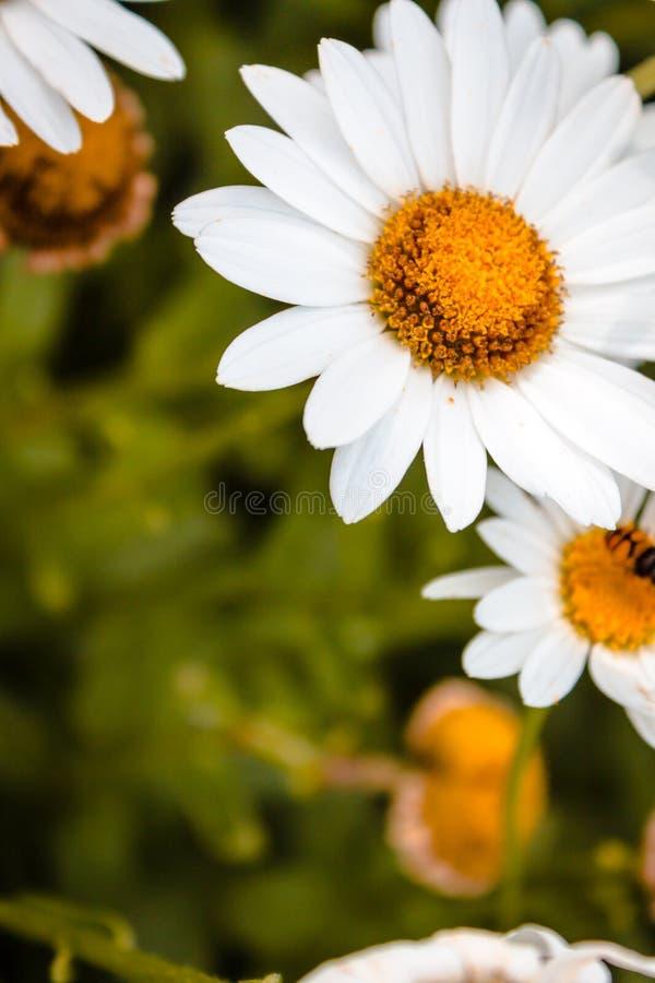 关闭一朵雏菊的射击在绽放的 免版税库存图片