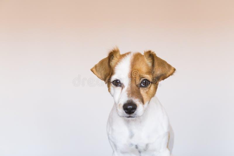 关闭一条逗人喜爱的幼小小狗的画象在白色backgroun的 图库摄影